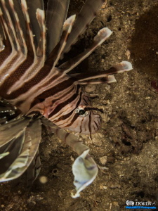 Lionfish